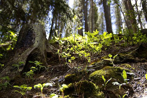 Treefall Sapling 500 x 367