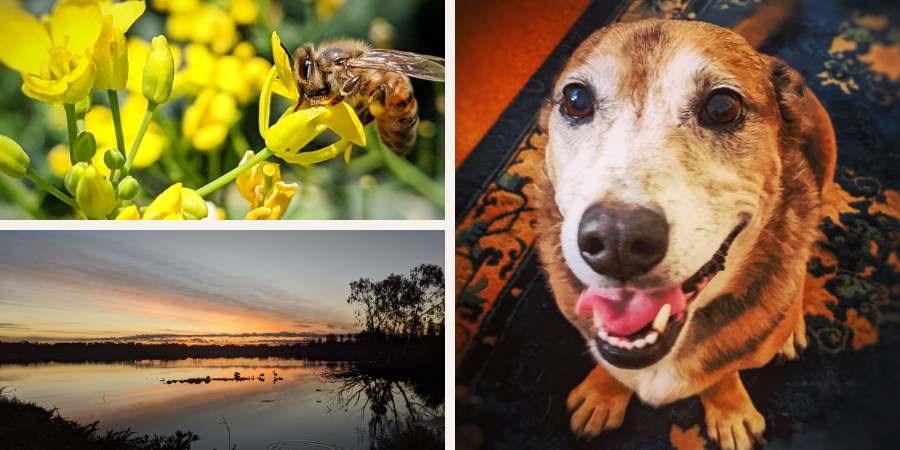 Image description: A few of my favourite things - a bee on a yellow flower, Lake Monger at sunrise and my dog, Maple.
